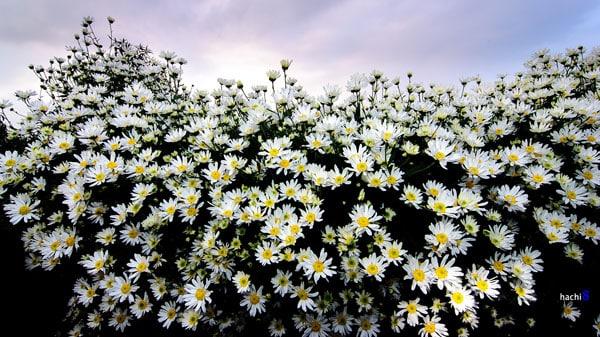 loai hoa mang phu quy giau sang