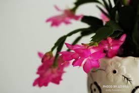 cach cham soc hoa tieu quynh