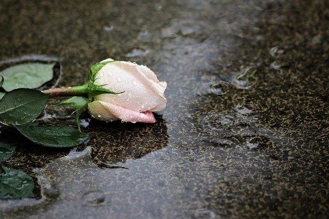pink-rose-in-rain-4233313_640